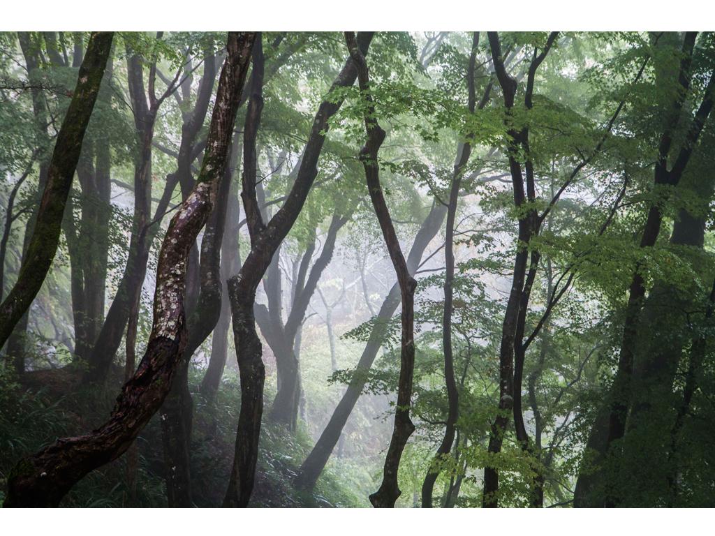 "Laura Ferro - ""Japanese Forest"" - Lambda Print on Kodak Endura Metallic paper - 5/9+ 1 artist proof - 2015"